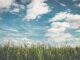 Skuteczne zwalczenie chwastów dwuliściennych w kukurydzy